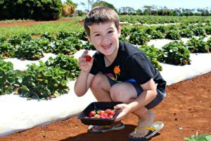 pick your own strawberries bundaberg