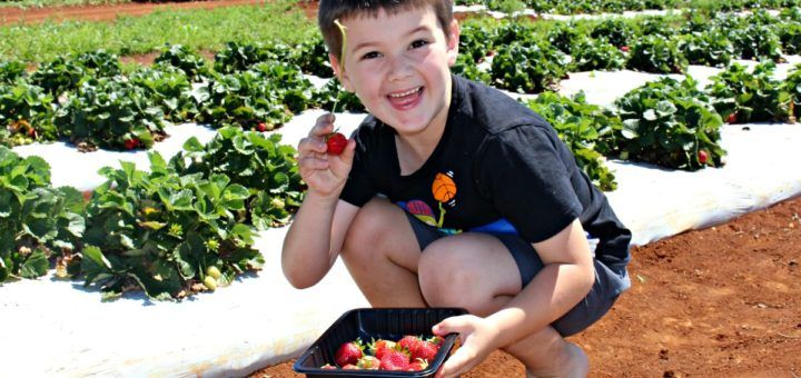 pick your own strawberries bundaberg